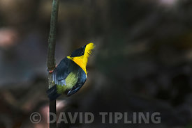 Golden-collared Manakin (Manacus vitellinus) male at lek at Canopy Camp in Darién Panama