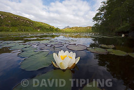 White Water Lily Nymphaea alba growing in lochan in Inverpolly National Nature Reserve in NW Scotland June