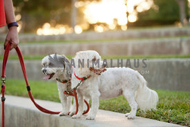 Two-Small-White-Dogs-After-Walk
