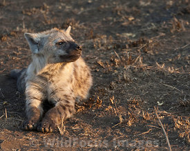 young Spotted Hyena (Crocuta crocuta) near the S90, Olifants,  Kruger National Park , South Africa; Landscape