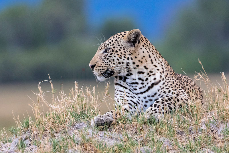Male Leopard Sitting on a Termite Mound