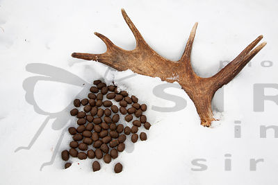 Elk's Cast Antler & Droppings