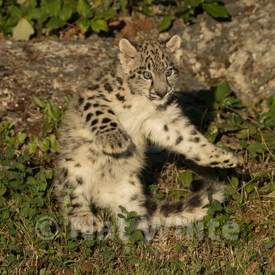 Snow_Leopard_Cub-Triple_D_wildlife-22017-991-July_31_2017