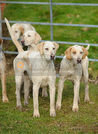 Cottesmore hounds at the meet at Lockwood