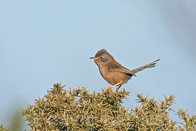 Dartford Warbler Sylvia undata female North Norfolk March