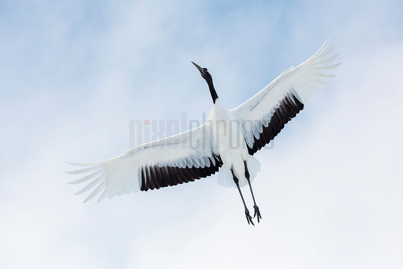 Red Crowned Crane in Flight