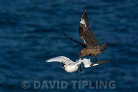 Great Skua Stercorarius skua attacking Gannet on route back to its colony, to make it disgorge fish, behaviour known as Kleptoparasitism (parasitism by theft) Hermaness, Unst, Shetland June
