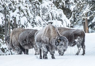 Frosted_Bison-1818_January_21_2018_Nat_White