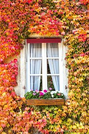 Window in autumn surrounded by vines, Burgundy, France
