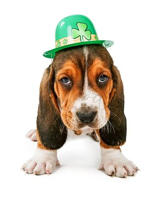 St Patricks Day Basset Hound Puppy