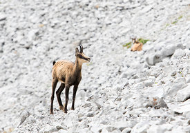 Chamois in French Alps