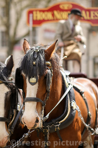 Hook Norton Brewery Shire Horses