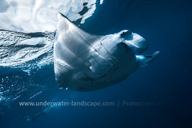 Flying Manta ray-underwater photography