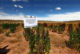 Field for evaluating which varieties of quinoa (Chenopodium quinoa) grow best in dry altiplano conditions, Bolivia