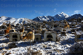 Llamas (Lama glama) in Milluni cemetery after fresh snowfall and Mt Huayna Potosi, Cordillera Real, Bolivia