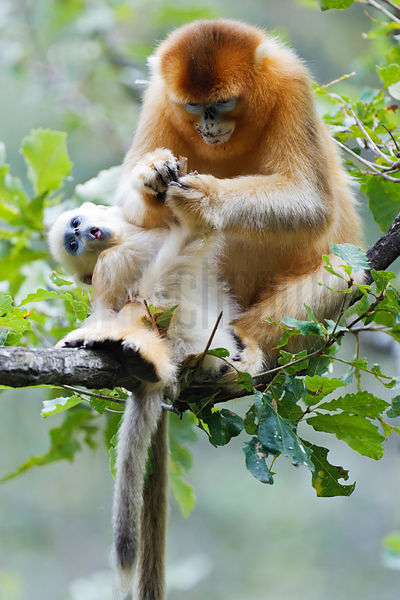 Golden Monkeys Grooming