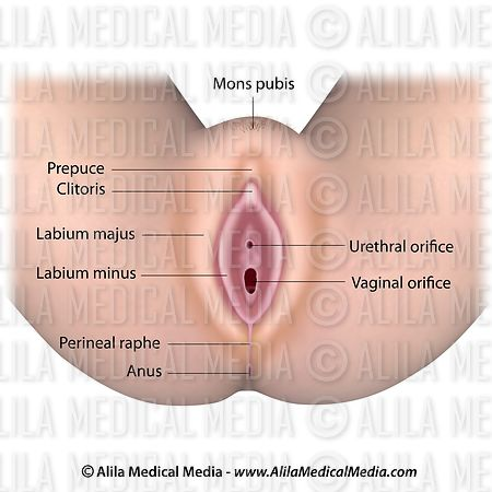 Alila Medical Media Female Reproductive System Labeled Diagram