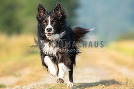 close up of border collie running towards camera