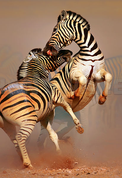 Zebra stallions fighting in upright position