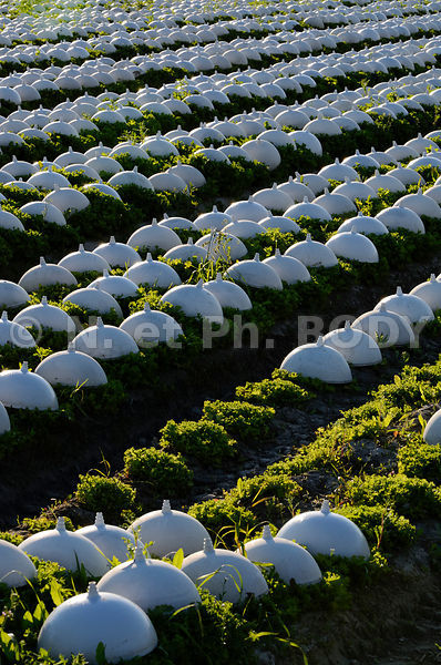 FRANCE, MANCHE, CULUTURE SALADES//France, Normandy, Manche, Salad growing