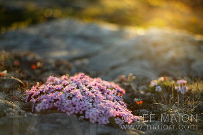 Pink tundra flowers at sunset