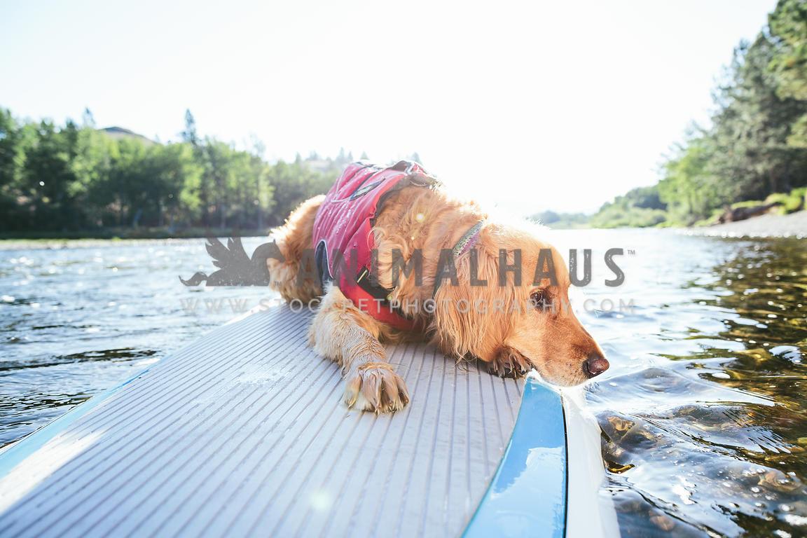 Animalhaus Media Golden Retriever Dog Wearing Life Jacket Lying On