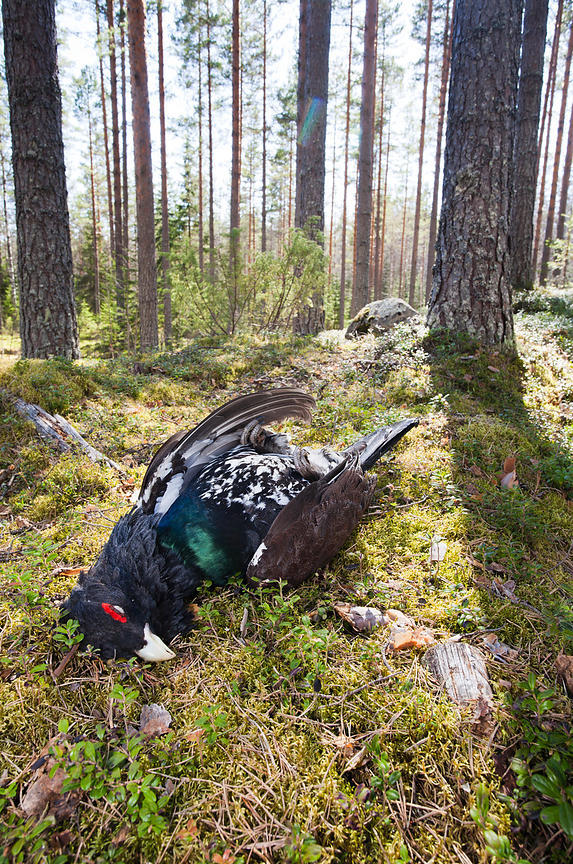 Dead Capercaillie on the Lekking Site