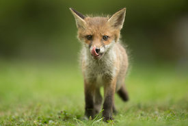 Hungry Fox Cub