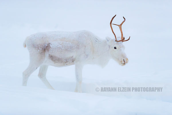 White reindeer in Finnish Lapland