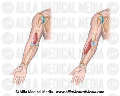 Brachialis and brachioradialis