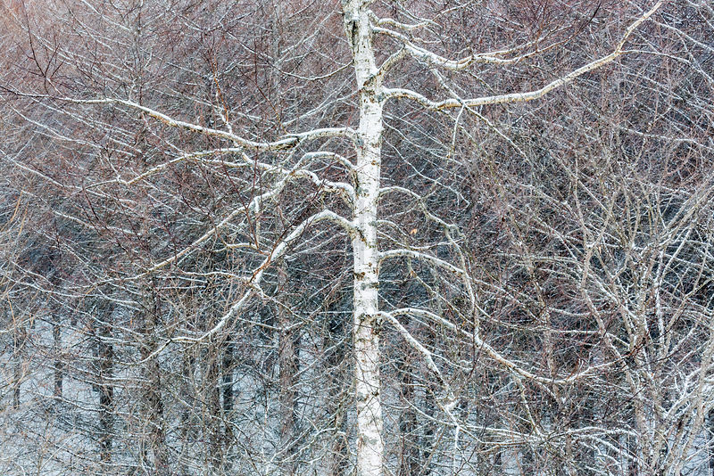 Birch Trees in a Snow Storm