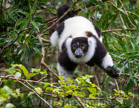 Black-and-white ruffed lemur (Varecia variegeta), Madagascar; Landscape