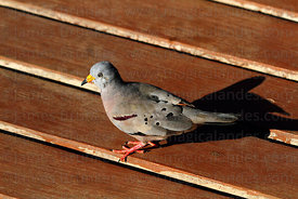 Croaking ground dove ( Columbina cruziana )