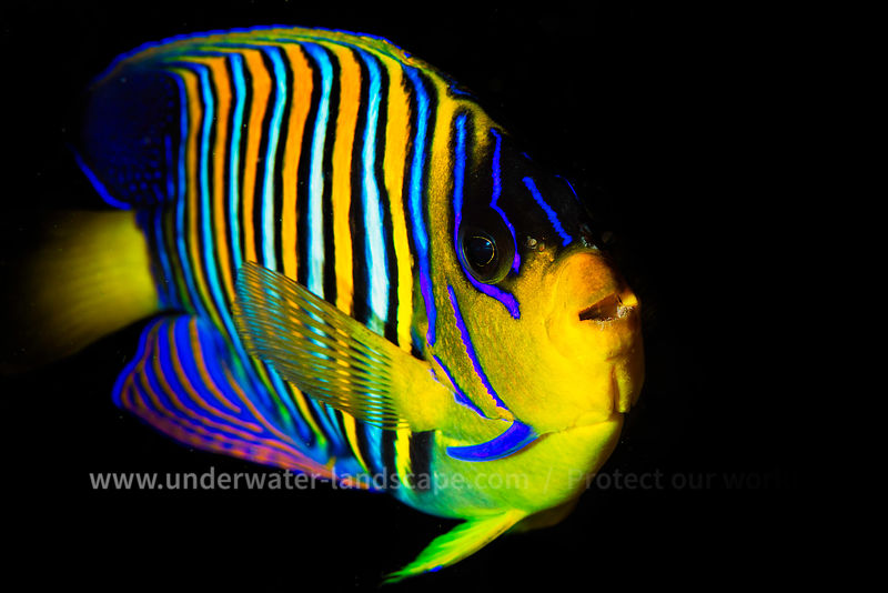 Multicolor fish yellow and blue