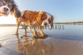 Cheeky dog digging at the beach