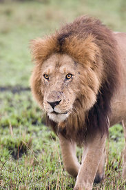 Male lion, Panthera leo, Masai Mara National Reserve, Kenya; Portrait