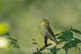 Wood Warbler Phylloscopus sibilatrix in song in oak woodland near Pitlochry Scotland spring