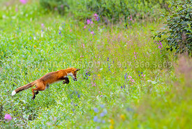 Alaska Wildlife - Fox
