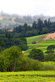Vineyards and Hills, Anderson Valley #1