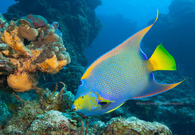Queen angelfish on Palancar Gardens divesite, underwater, Cozumel, Mexico