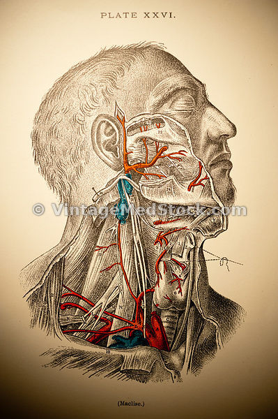 Blood Supply of the Neck