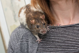 rat perched on owner's shoulder looking to camera