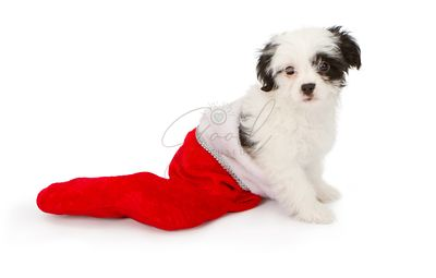Puppy in a Christmas Stocking