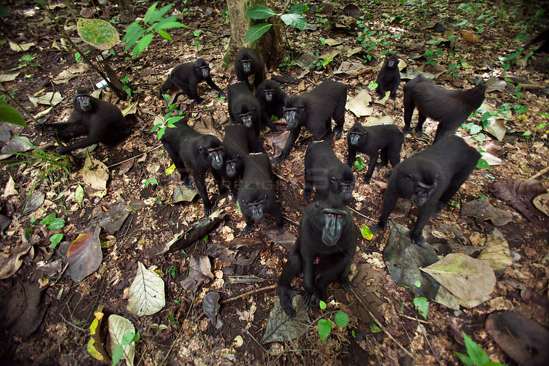 Celebes / Black crested macaque (Macaca nigra)  group approaching with curiosity, overhead view, Tangkoko National Park, Sulawesi, Indonesia.