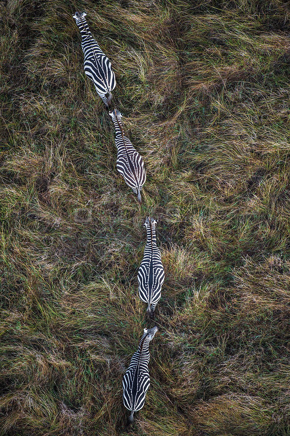 Plains zebra (Equus quagga) group of four walking in single file, aerial view. Masai Mara, Kenya.
