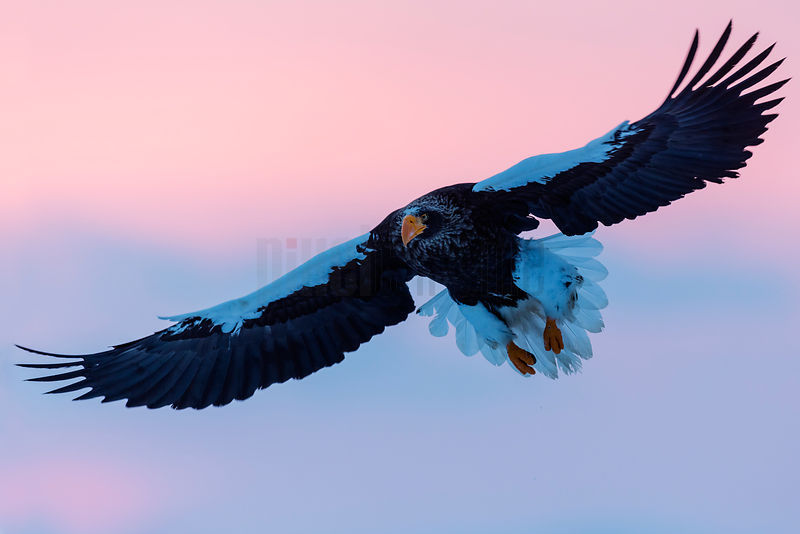 Steller's Eagle in Flight at Dawn