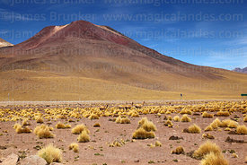 Herd of vicuña (Vicugna vicugna) in typical puna grassland habitat and Tatio volcano, Region II, Chile