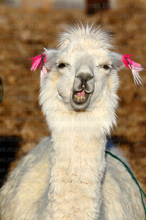 White alpaca (Vicugna pacos) with amusing expression
