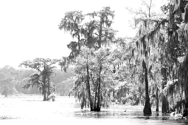 Bald cypress coloring pages ~ Fine Art Photography Prints           Lake Martin ...