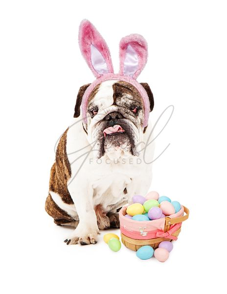 English Bulldog Wearing Bunny Ears and Basket